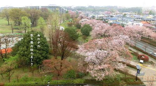 20120414武蔵国分寺公園の桜.JPG